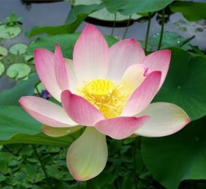 symbolique du lotus arasia